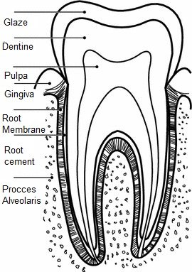 Cross section of a dental element.
