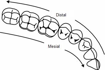 Mesial and distal planes.