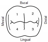 Naming of the bumps of a dental element. 1 mesiobuccal, 2 distobuccal, 3 distolingual and 4 mesiolingual lump