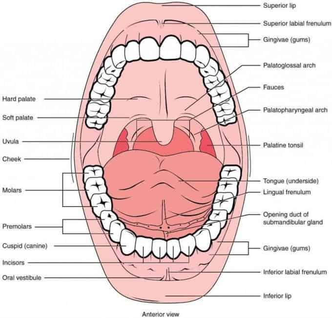 Structures in the oral cavity: the teeth - Anatomy and physiology of the head, neck and chewing system